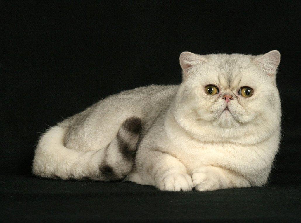 экзоты породы фото кошек