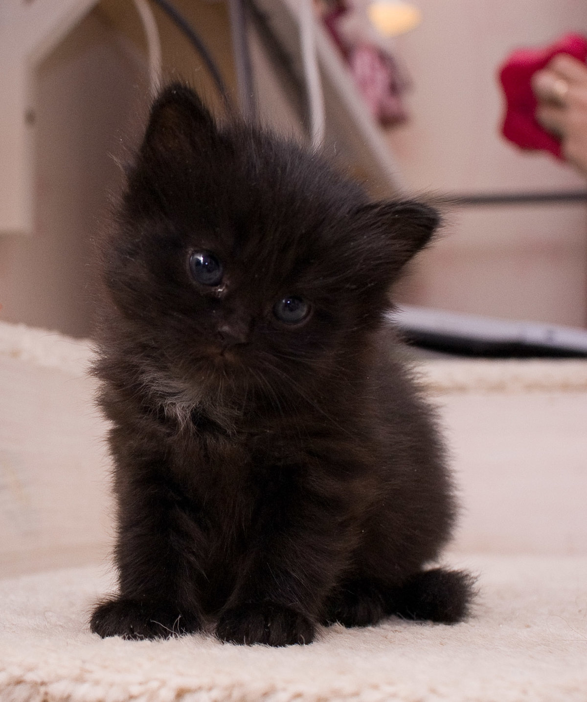 фото черного пушистого котенка европейская