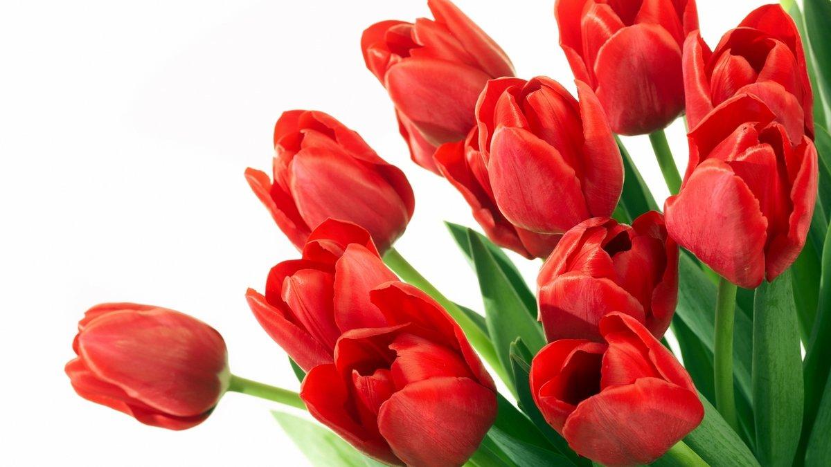 Картинка тюльпаны на прозрачном фоне, открытку