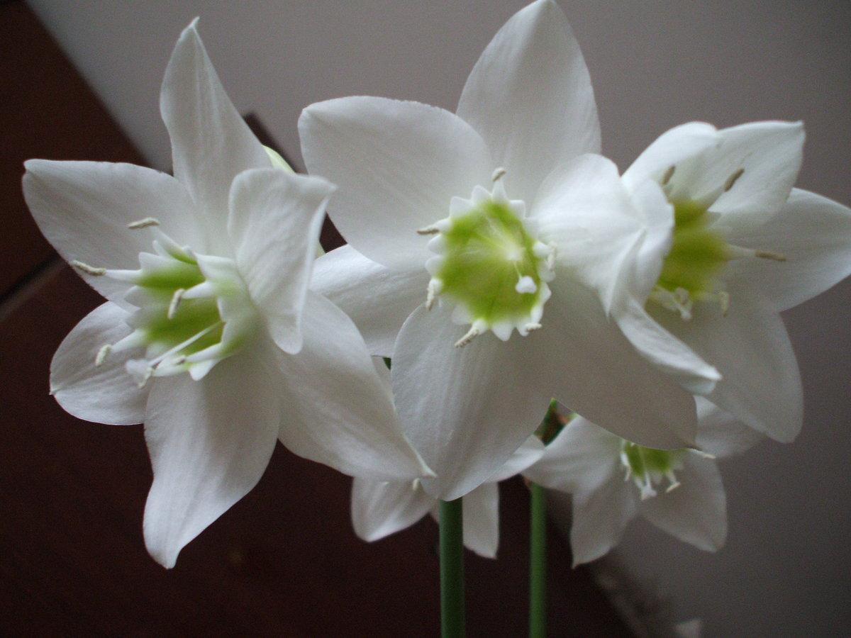 Домашняя белая лилия фото