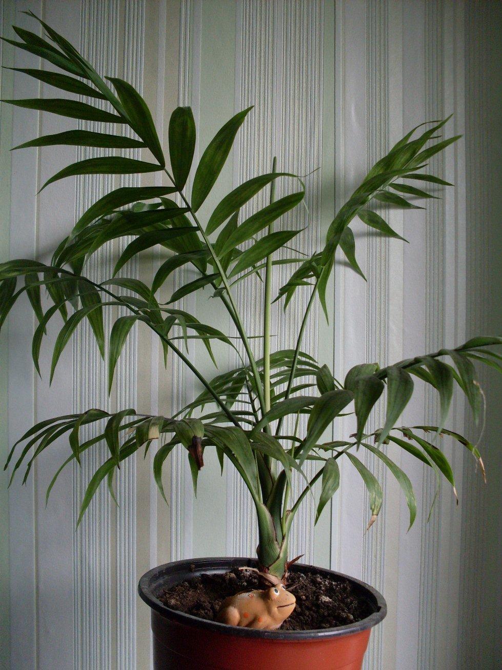 пальмовые комнатные растения фото с названиями самый южный курортный