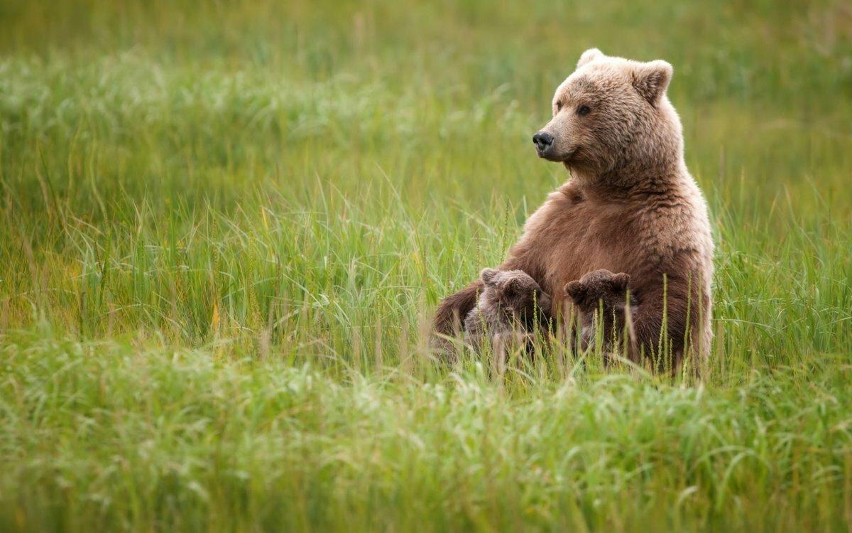 влияние медведь медвежонок сараев фото проекта