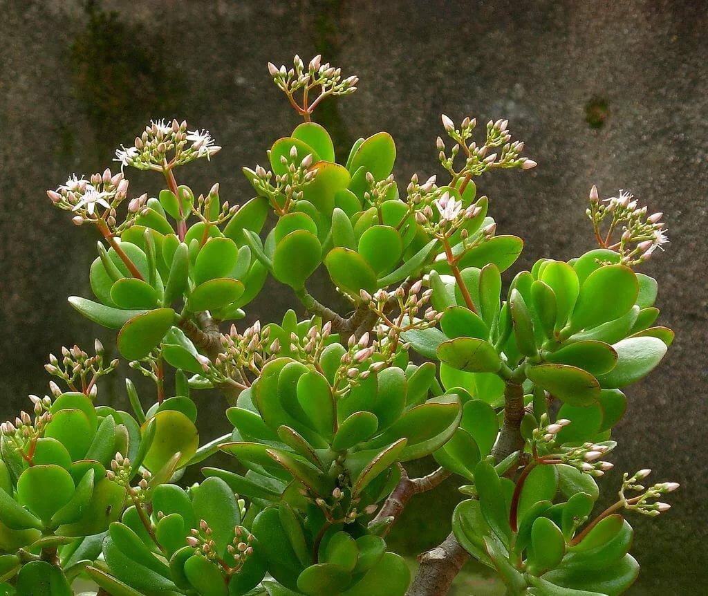 цветет ли денежное дерево в домашних условиях фото версии антивируса аваст