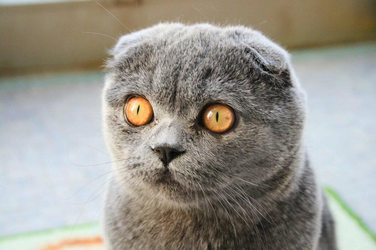 картинки шатланского кота мамам, также папам