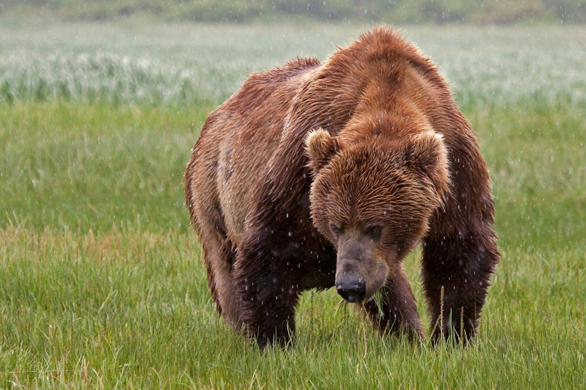 Медведь кадьяк картинка