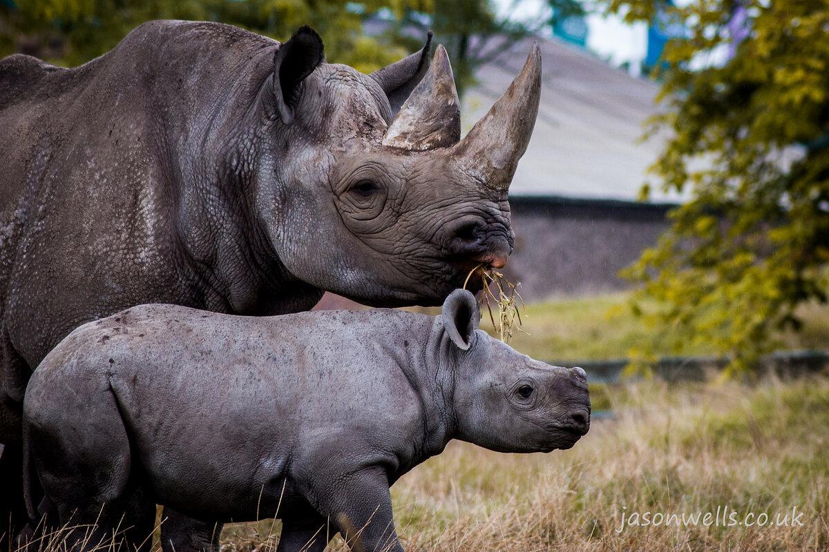 носорог в картинках решетник