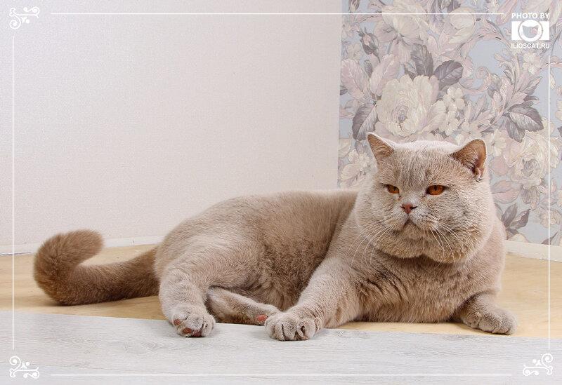 Кошка британская фавн москва фото
