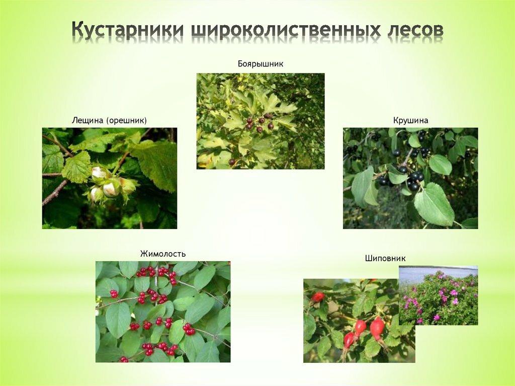 Цветы смешанных лесов названия и картинки