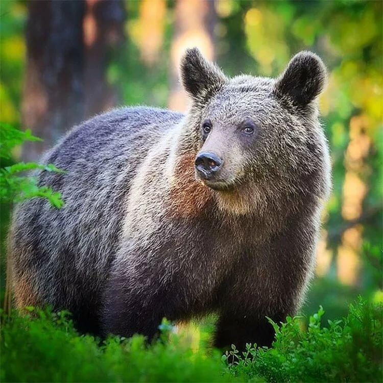 Картинки животных русского леса