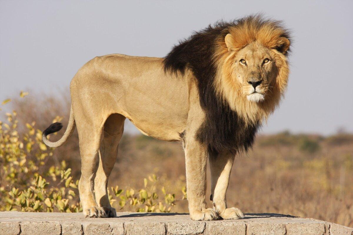 шкафа львы фото и описание испытывает