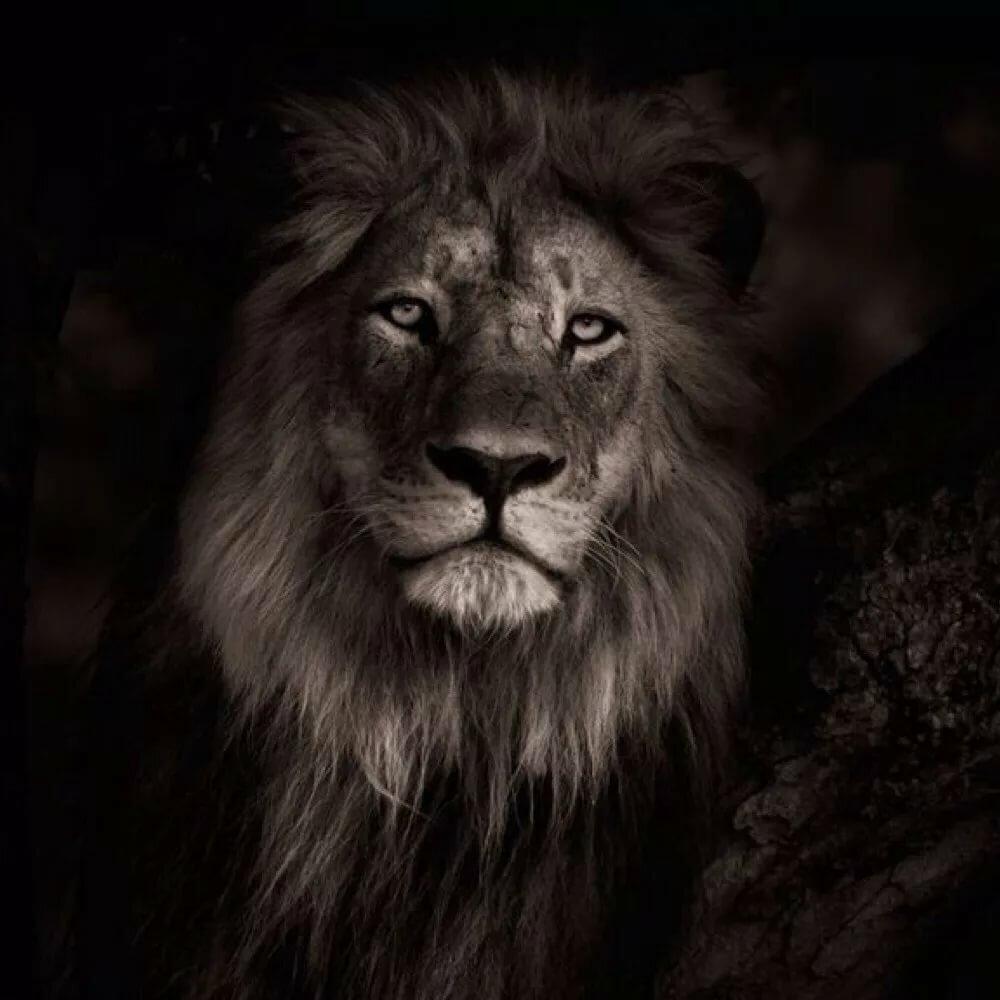 редкий черный лев картинки является комфортное