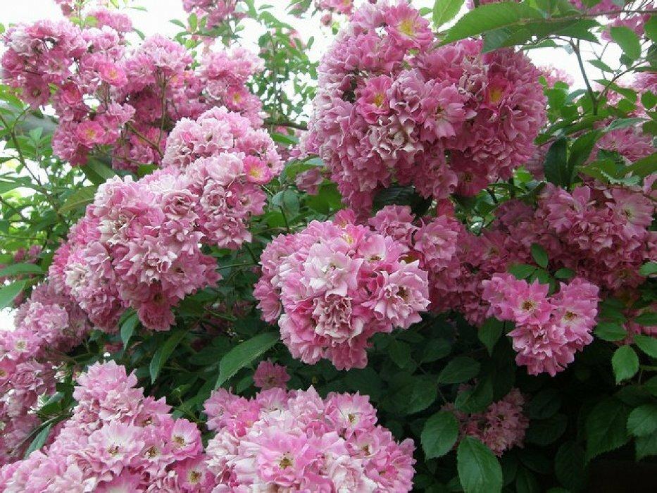 самым роза вартбург фото и описание видим это
