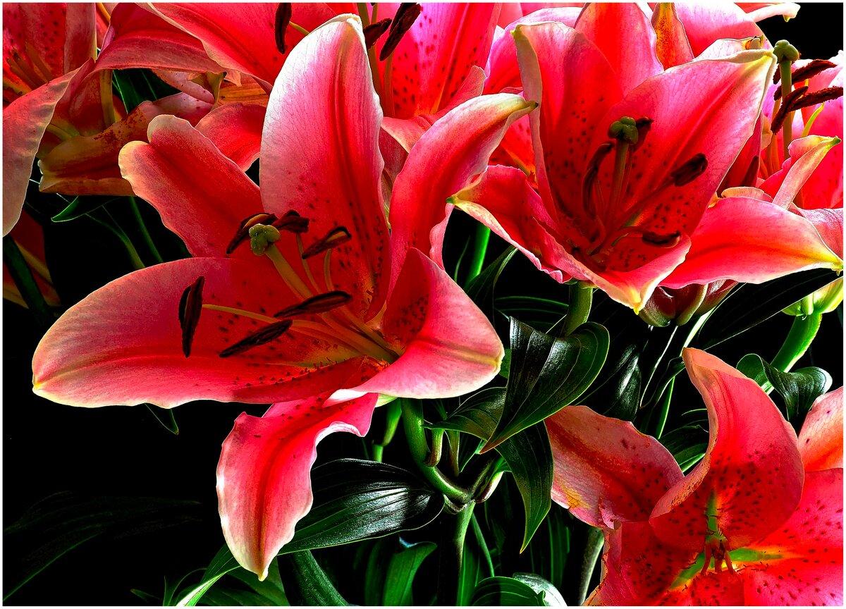 всего самые красивые лилии в мире фото один цветовод-любитель
