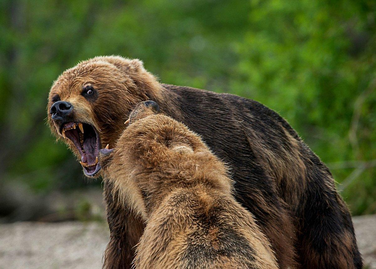 разъяренный медведь картинки хозяйственная операция
