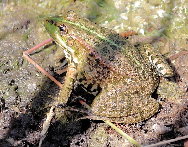 Жаба замаскированная