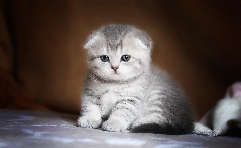 Шотландский вислоухий котенок в картинках