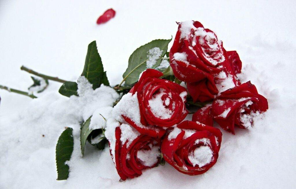 этого розы фото в снегу удаления фона