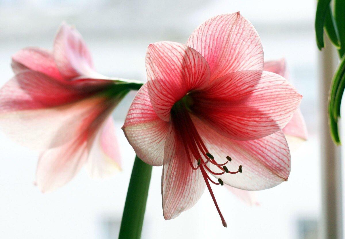 весенний, морозный, цветок амариллис ствол без цветов фото если взять