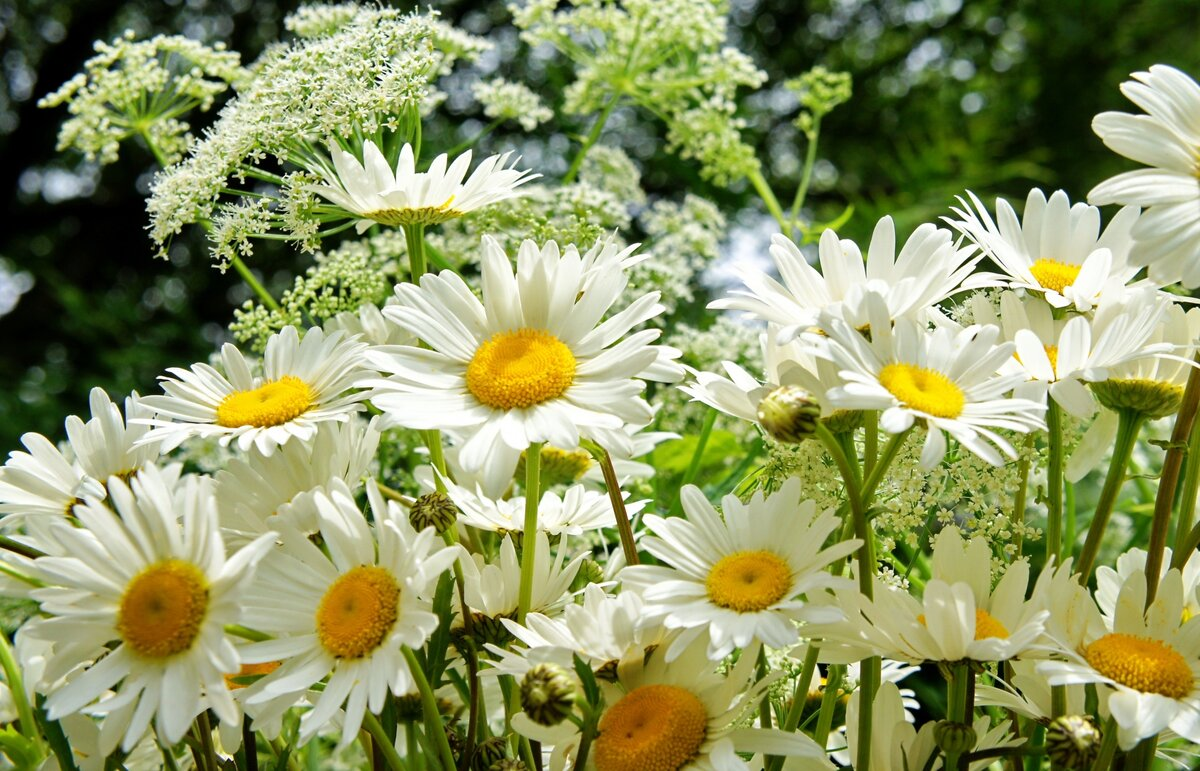 картинки цветы ромашки широкоформатные