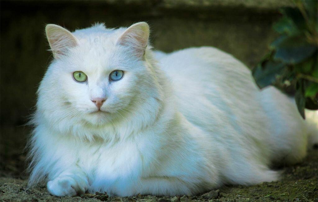 Картинка ангорской кошки