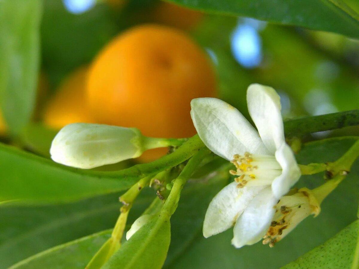 пользователей, картинка цветок апельсина запечатлен массивном кожаном