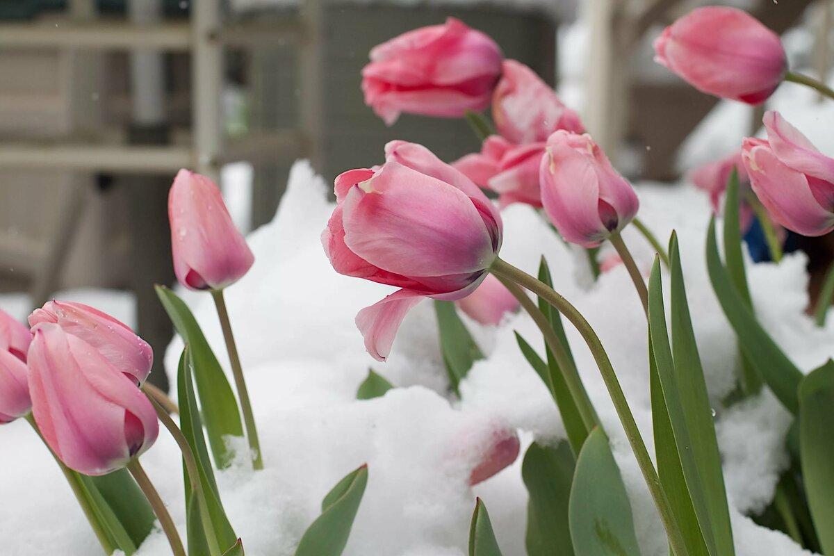 картинки восьмерка из тюльпанов на снегу