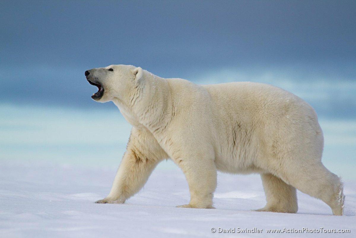 Белый медведь на севере картинки