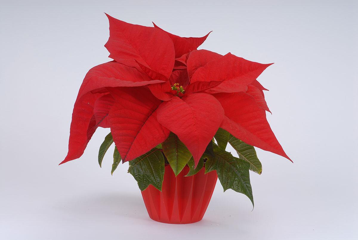 коротких пуансетия цветок в доме как ухаживать картинка как