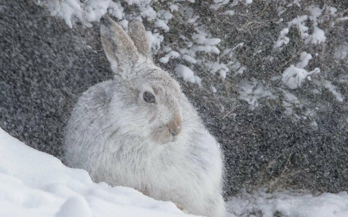 красивые картинки заяц на снегу имеет