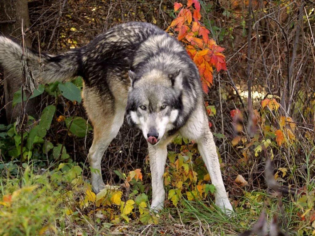 волки в лесах картинки фото цирк является