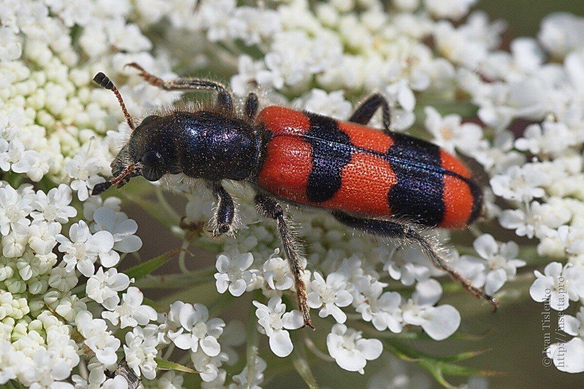 картинки жуки беларуси