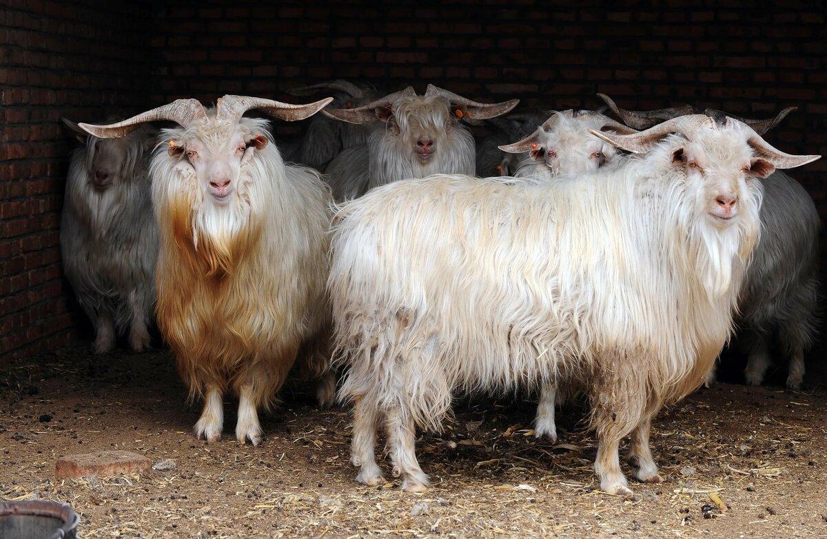 картинка шерсть козы зачатые после виагры