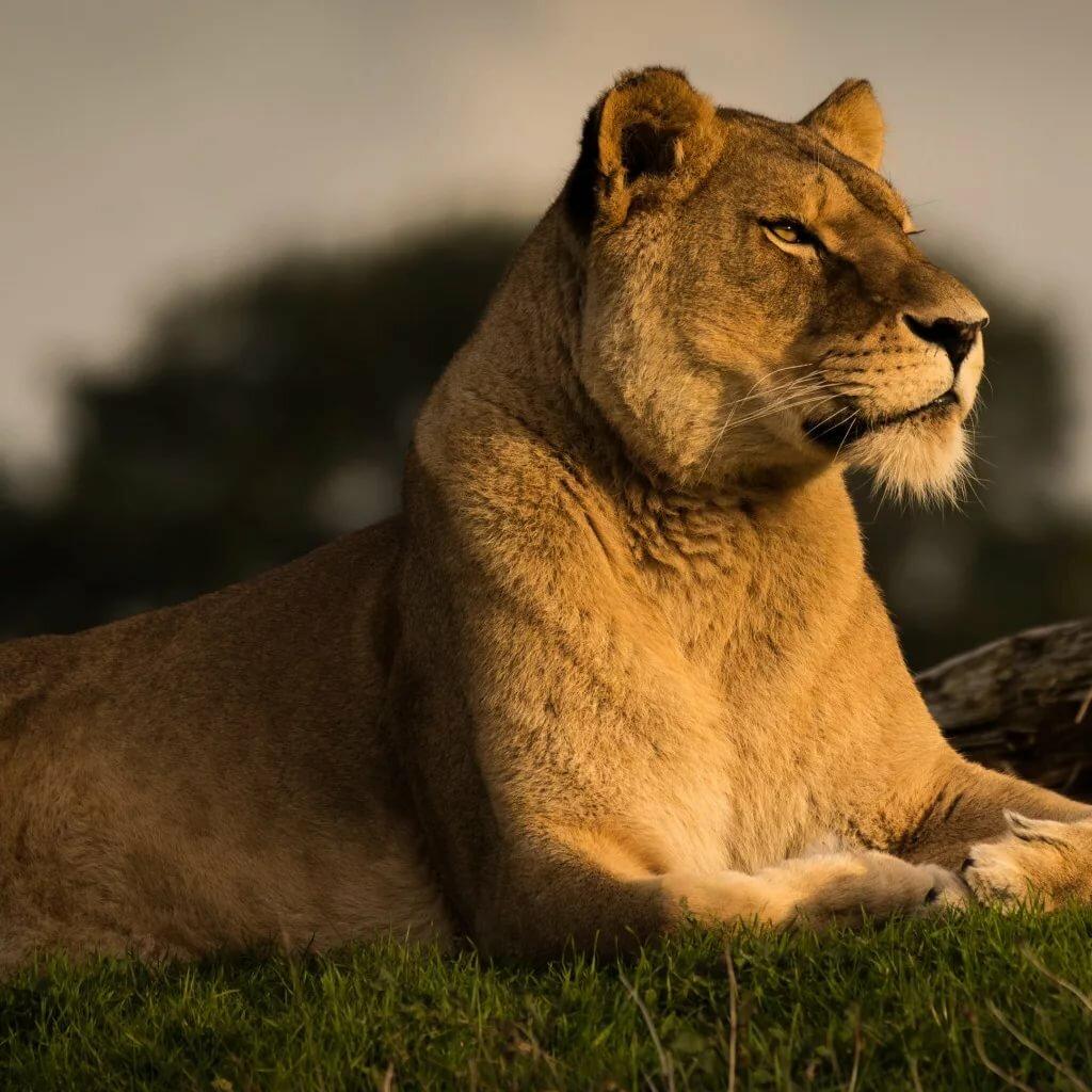 Львица картинка красивая
