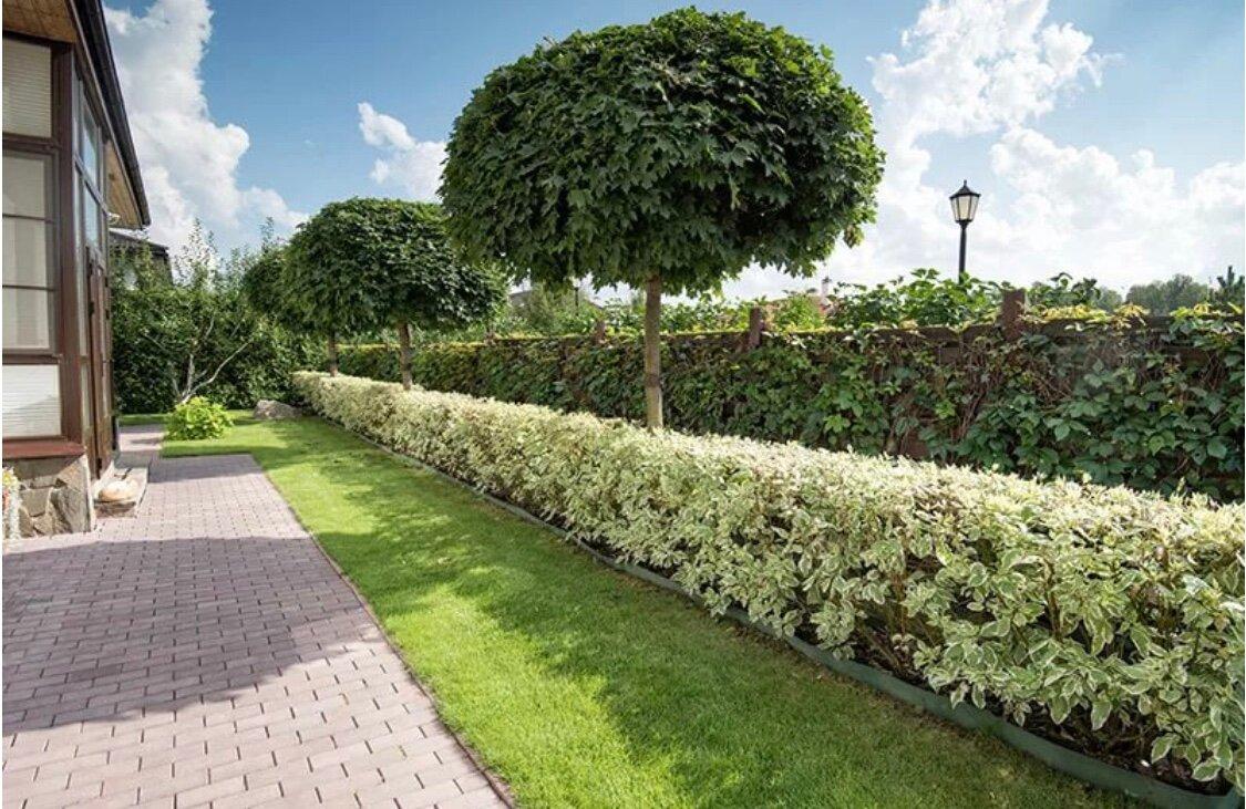 Картинки кустарников для живой изгороди