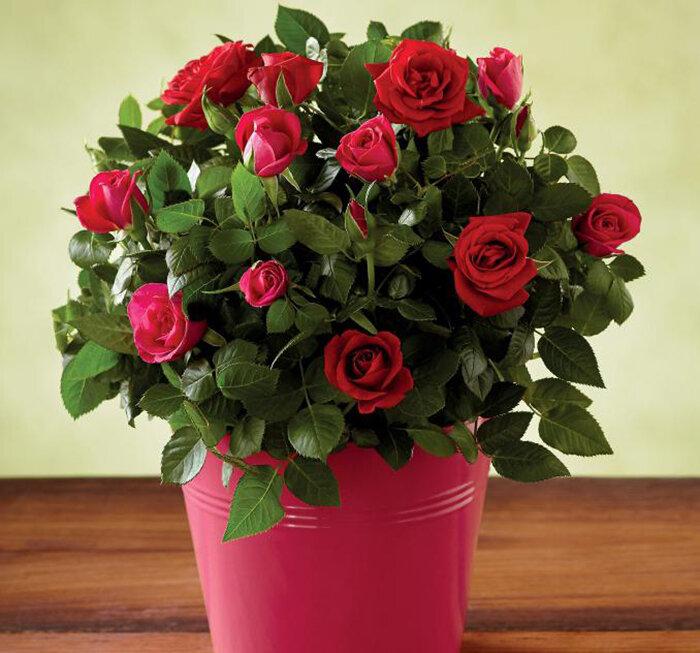 этом уход за комнатными розами в картинках данный