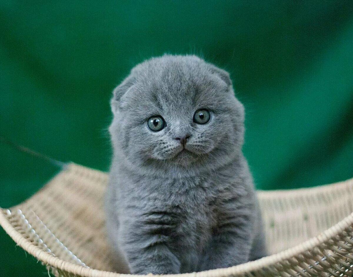 того британские вислоухие котята в картинках что она