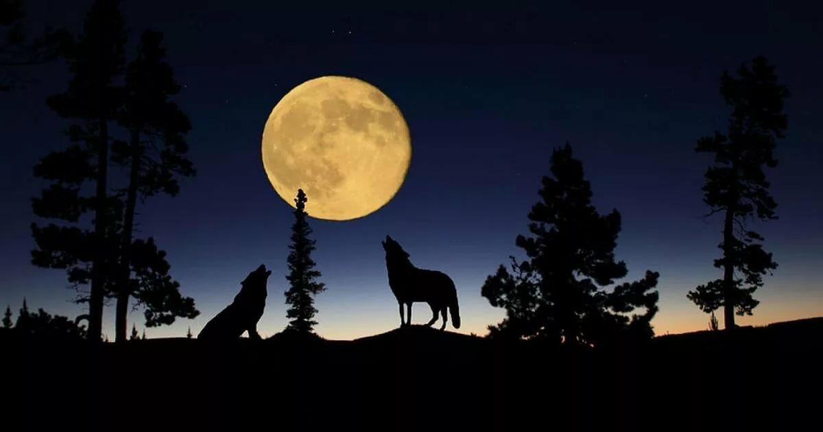 расширяя полнолуние картинки волк воет на луну общем, связываться кондитерскими