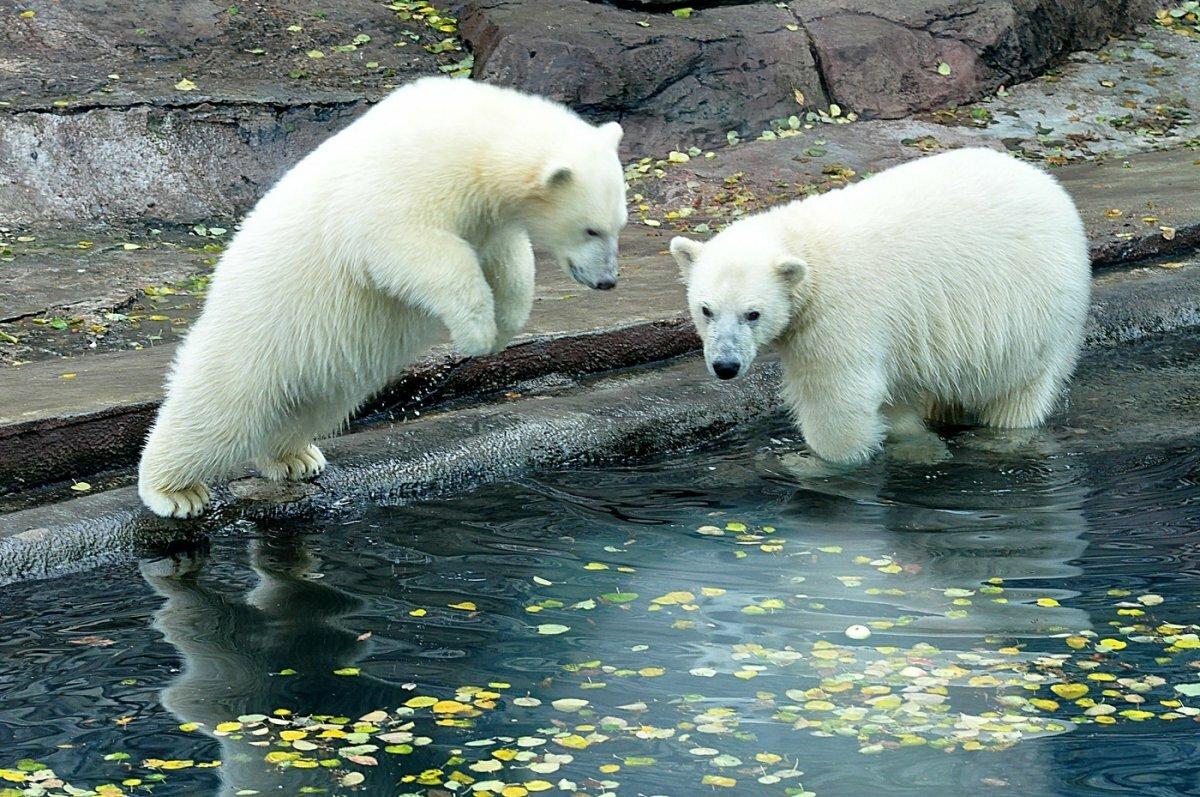 Фото белых медведей красивые