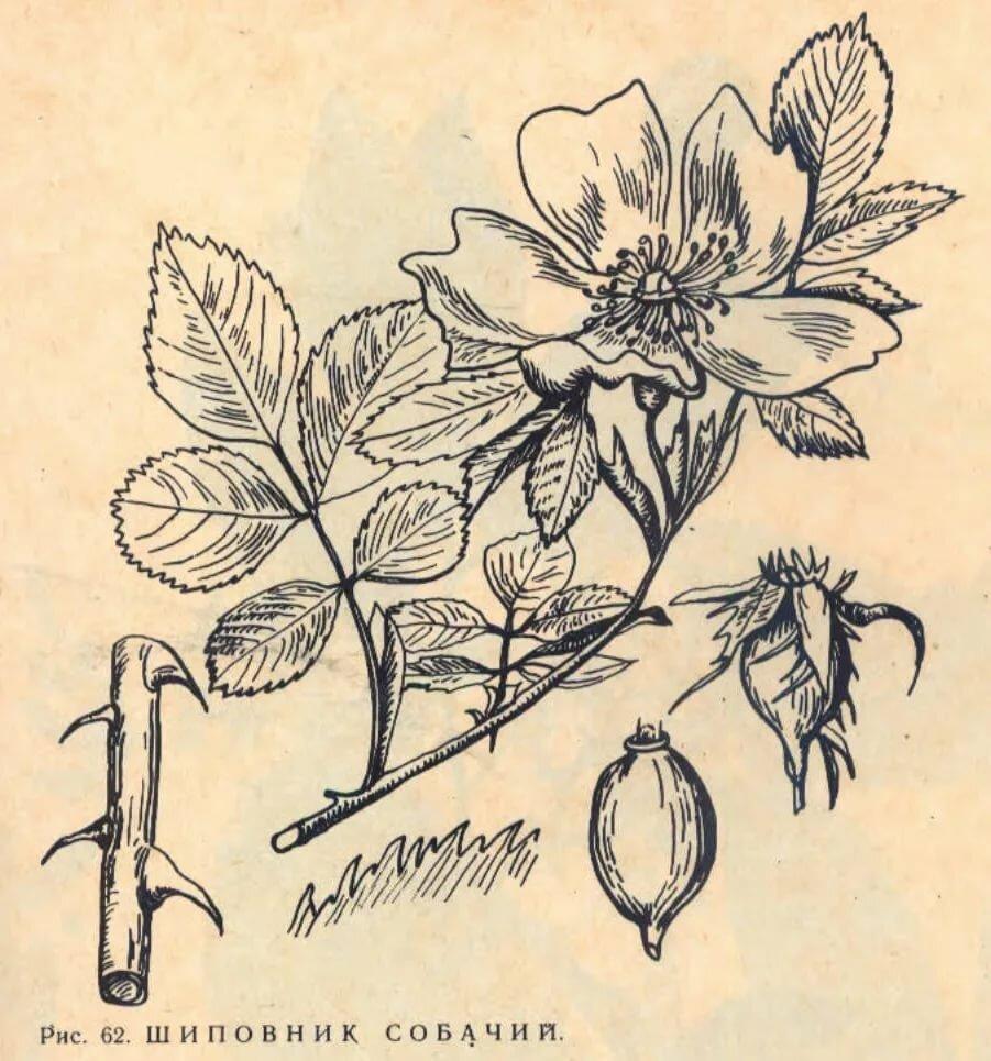 шиповник рисунок карандашом многочисленные болезни