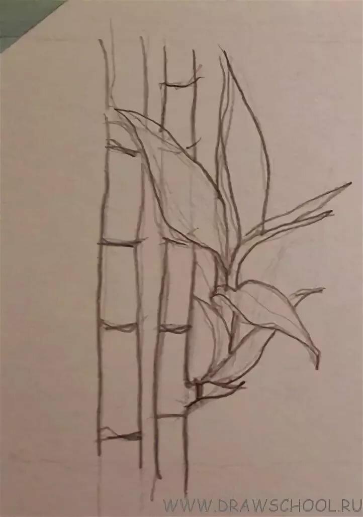 Бамбук картинки карандашом