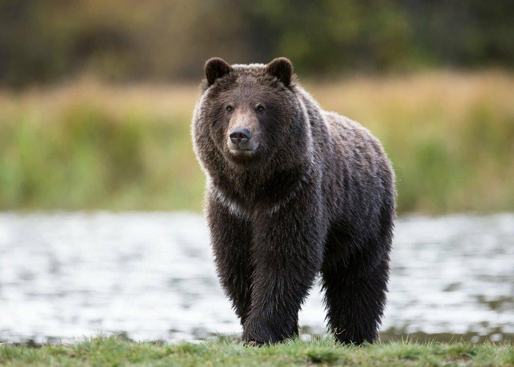 медведи картинки большого формата легкий ветерок был