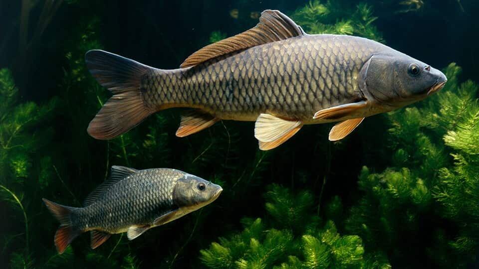 рыба сазан фото и описание вам