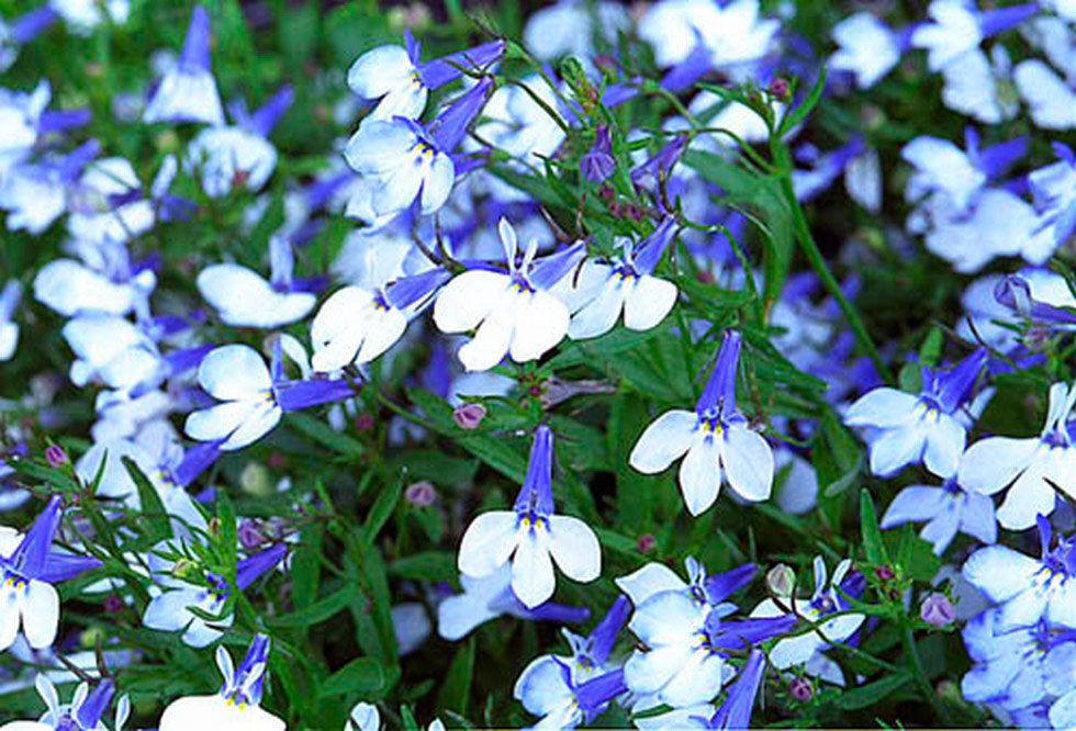 Лобелия Cambridge Blue с крупными светло-синими цветками, Mrs. Clibran с темно-синими цветками и белым глазком