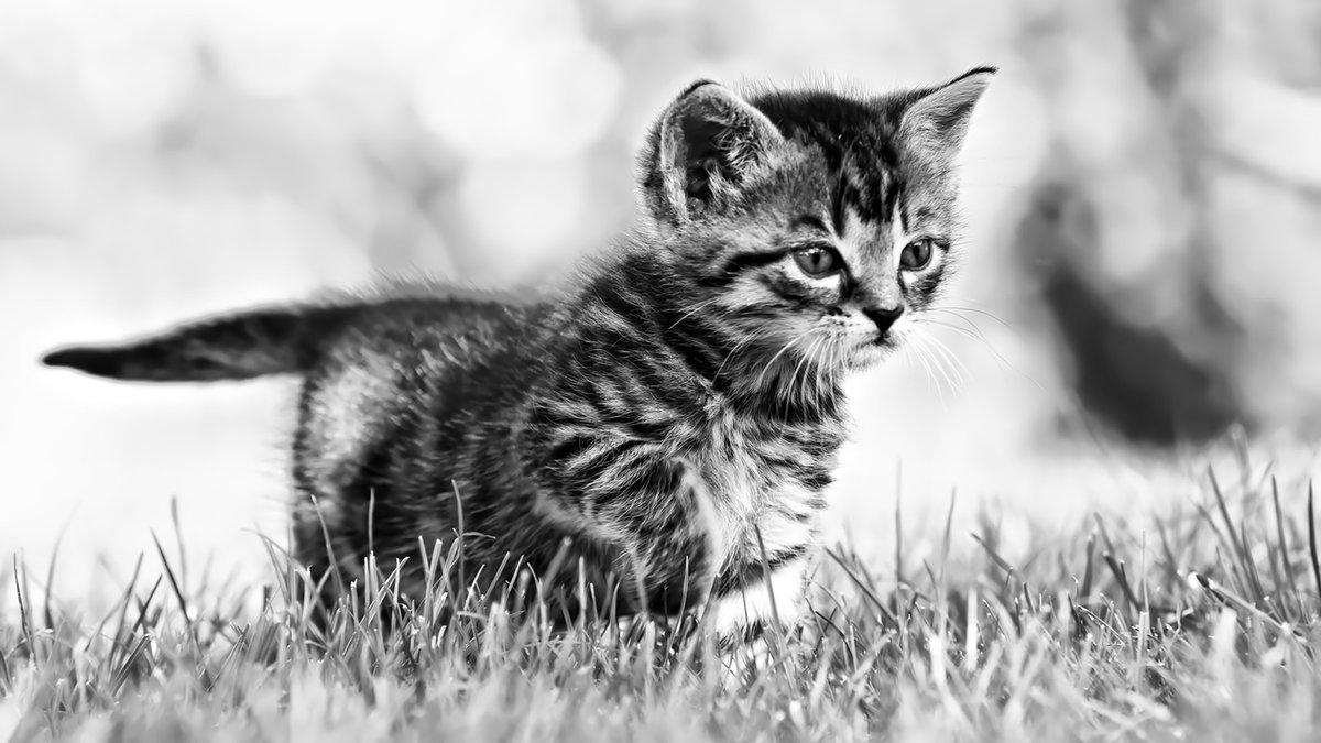 Черно-белые картинки с кошкой