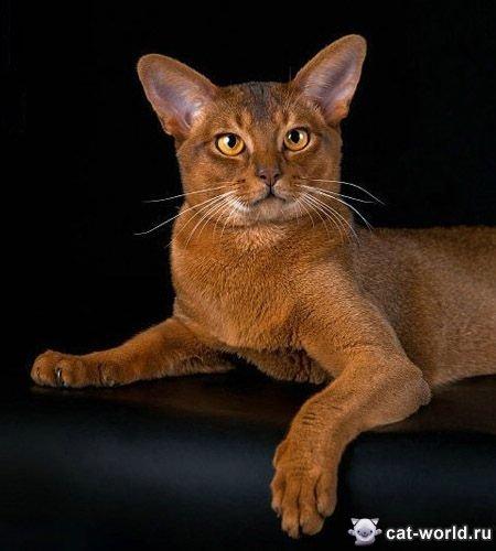 делится абиссинские кошки европейский тип фото сожалению, без