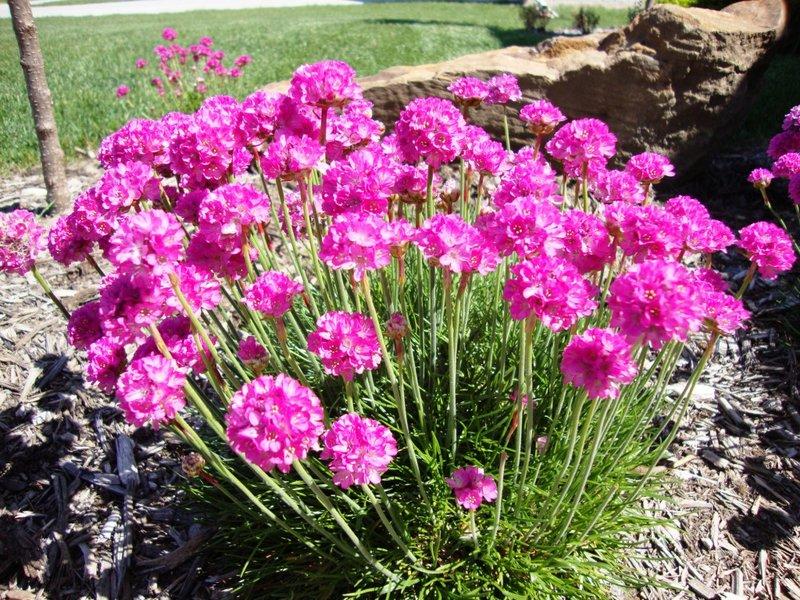 Многолетние цветы цветущие в июле