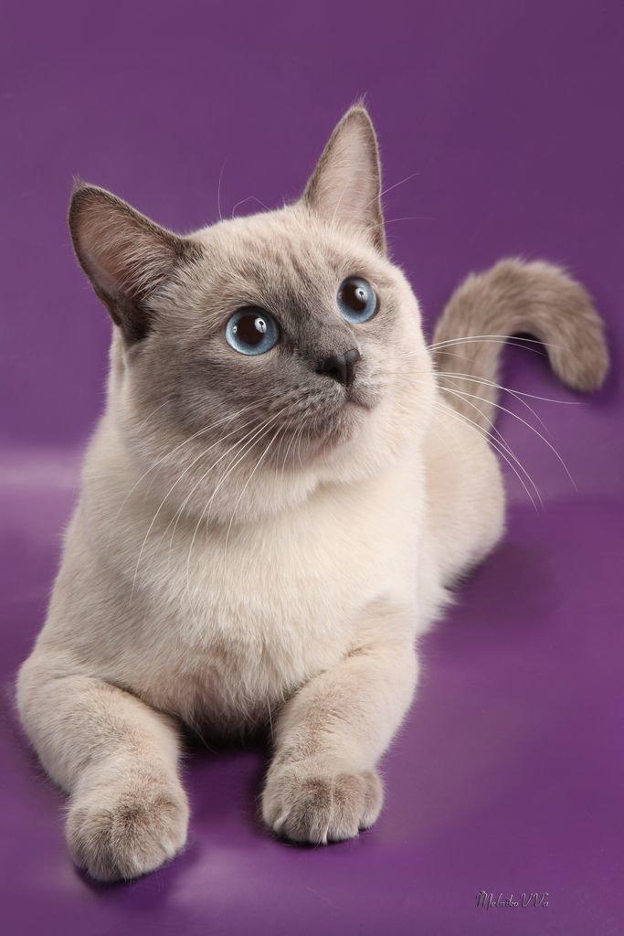 Тайские кошки считаются эталоном красоты и величия.