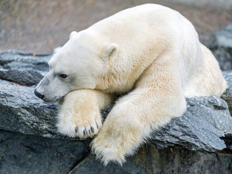 Белые Медведи обои (105 фото) для рабочего стола, скачать картинки на рабочий стол