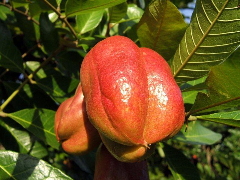 Диковинные и редкие экзотические фрукты (15 фото) » Just one MIN