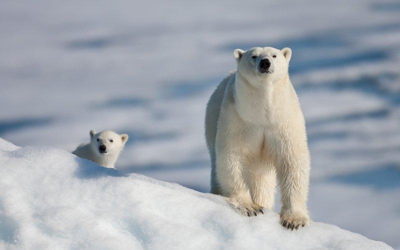 Фото Белая медведица с мевежонком на снегу картинки обои на рабочий стол